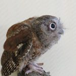 Young owl joins staff at International Owl Center